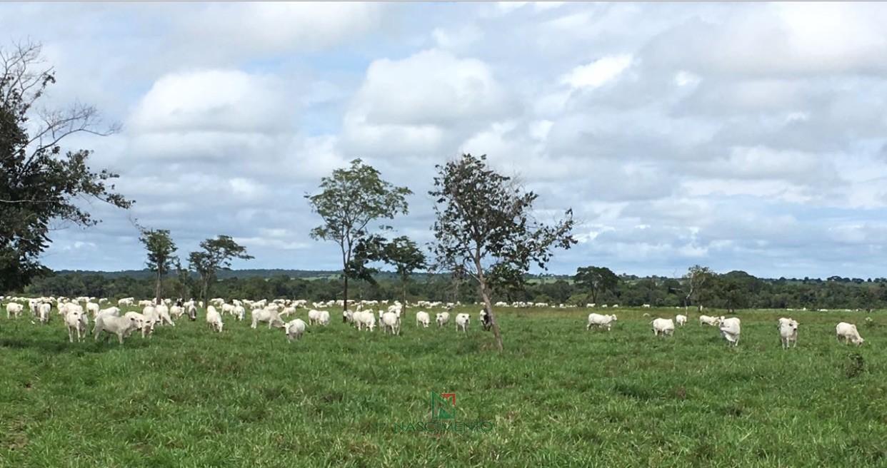 Pastagem com gado -  Faze